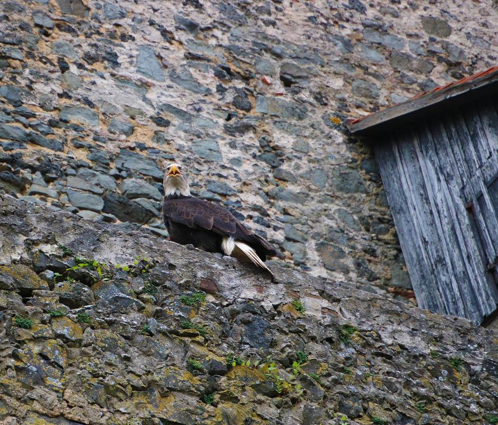 Adler_Burgmauer