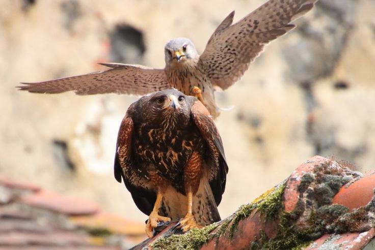 Adler_Turmfalke_Wild