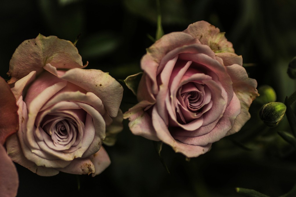 Tired roses