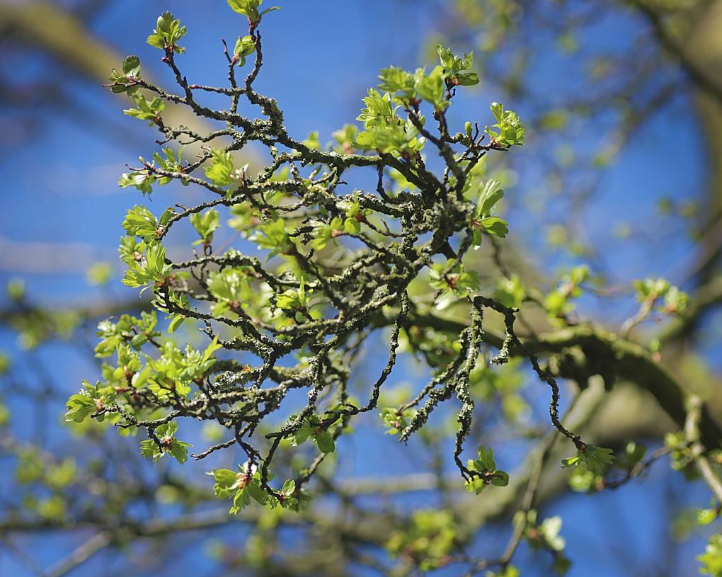 Der alte Baum erwacht.jpg